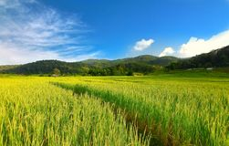 Rice Terraced Field in Chiangmai, Thailand. The Rice Terraced Field in Chiangmai, Thailand royalty free stock photos