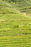 Rice terraced in Northern Vietnam Royalty Free Stock Image