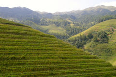 Rice terraced in Northern Vietnam Stock Photography