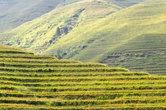 Rice terraced in Northern Vietnam Stock Images
