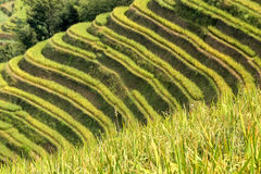 Rice terraced in Northern Vietnam Royalty Free Stock Photos
