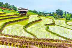 Rice terraced. Stock Photography