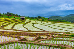 Rice terraced. Stock Image