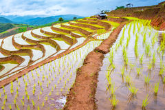 Rice terraced. Royalty Free Stock Photography