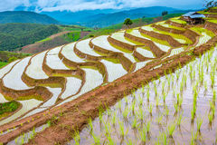 Rice terraced. Royalty Free Stock Images