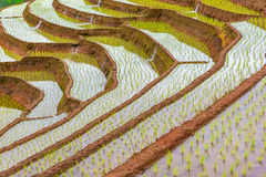 Rice terraced. Stock Photos