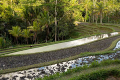 Rice terraced paddy fields Royalty Free Stock Photography