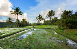 Rice terraced paddy fields Stock Image