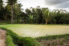 Rice terraced paddy fields in Gunung Kawi Stock Photo