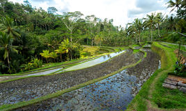 Rice terraced paddy fields in Gunung Kawi Stock Photography