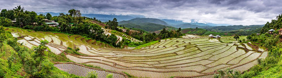 Rice terraced. Royalty Free Stock Photo