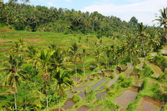 Rice terraces. Green rice terraces in Bali royalty free stock photos