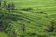 Rice terraces. In Bali, Indonesia Royalty Free Stock Photos