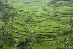 Rice terraces. When green.. Made in Bali, Indonesia Royalty Free Stock Image