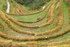 Rice terraces in autumn near the village Dazhai in Longsheng-Longji,province Guangxi,China Stock Photo