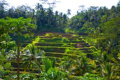 Rice terraces in Bali. Island Royalty Free Stock Image