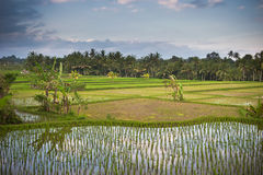 Rice terraces of bali Royalty Free Stock Photos
