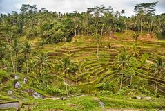Rice terraces in Bali Stock Photography