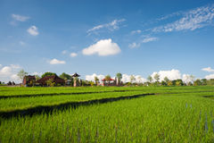 Rice Terraces, Bali Royalty Free Stock Photo