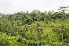 Rice terraces, Bali Stock Photo