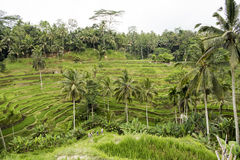 Rice terraces, Bali Royalty Free Stock Photos