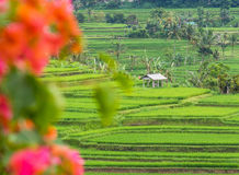 Rice Terraces in Bali. Royalty Free Stock Photo