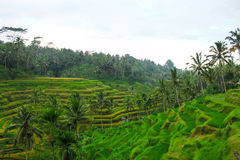 Rice terraces on Bali Stock Images