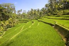 Rice terraces, Bali, Indonesia Stock Photos