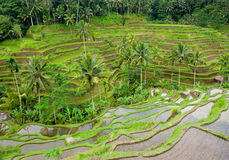Rice terraces of bali, indonesia Stock Photos