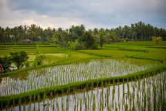 Rice terraces of bali, indonesia Royalty Free Stock Photos