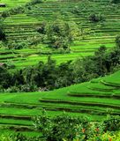 Rice Terraces, Bali, Indonesia. Lush Green Rice terraces in Bali, Indonesia Royalty Free Stock Image