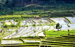 Rice terraces in Bali, Indonesia Stock Photography