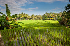 Rice terraces of bali, indonesia Stock Photography