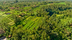 Rice terraces in Bali. Rice terraces in Bali, Indonesia royalty free stock photos