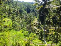 Rice Terraces - Bali, Indonesia. Beautiful Rice Terraces on Bali Royalty Free Stock Images