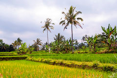 Rice terraces on Bali, Indonesia Royalty Free Stock Images