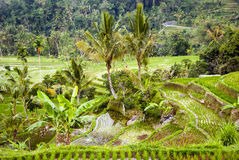 Rice terraces on Bali, Indonesia Stock Images