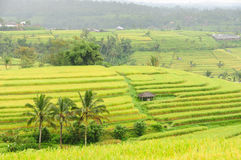 Rice terraces of Bali Island, Indonesia Royalty Free Stock Image