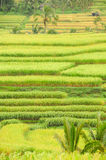 Rice terraces of Bali Island, Indonesia Royalty Free Stock Photos