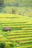 Rice terraces of Bali Island, Indonesia Stock Images