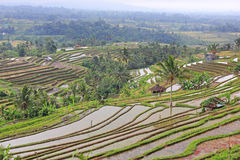 Rice terraces on Bali Royalty Free Stock Images