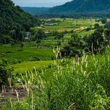 Rice terraces on Bali. Spikes of grass in the foreground Stock Photo