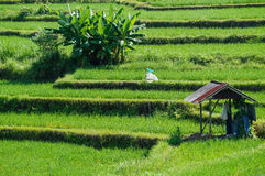 rice terraces in Bali Stock Photo