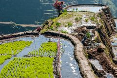 Rice-terraces of Banaue Royalty Free Stock Images