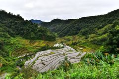 Rice Terraces - Batad, Philippines. Rice Terrace in Batad, Philippines. It is the beautiful scenery which is the UNESCO world heritage. Real life in the province Royalty Free Stock Photo
