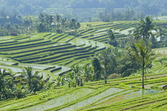 Rice terraces in central bali Royalty Free Stock Photography