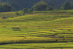 Rice terraces,chiang mai,thailand Stock Images