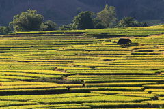 Rice terraces,chiang mai,thailand Royalty Free Stock Photo