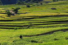 Rice terraces,chiang mai,thailand Royalty Free Stock Photos