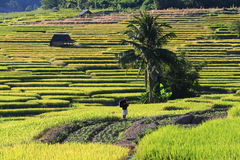 Rice terraces,chiang mai,thailand Royalty Free Stock Images